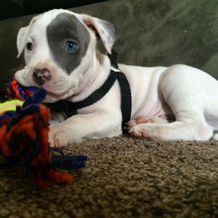Today&#39;s Adorable Puppy is a baby Pitbull with an unusual &quot;eye patch&quot;!  #PitbullPuppy @cutedogs @sweetPitbulls @DogsofTwitter #MondayMotivation #MondayMorning #AdorablePuppies<br>http://pic.twitter.com/AK2w1my126