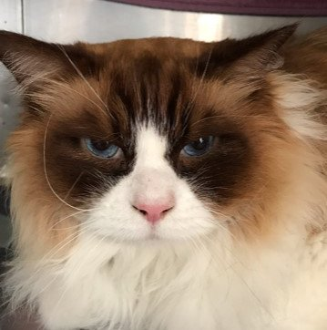 Is this the long lost brother of @RealGrumpyCat? Meet him at #spcaLASouthBay!