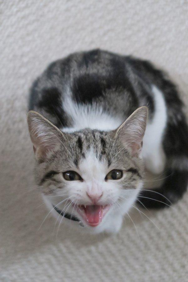 足元に座ってこんな真ん丸の目で見つめられてミャーって鳴かれると、ホントにもうって感じ。 反則やで。  #猫 #親バカ
