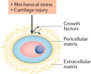 #ResearchHighlight | Growth factors respond to cartilage damage #osteoarthritis #CTGF #cartilage Read the original research from @ARD_BMJ here  https:// bit.ly/2N0cCUG  &nbsp;   Read our news story here  https:// go.nature.com/2zphqRD  &nbsp;  <br>http://pic.twitter.com/LQ0bjEyPUL