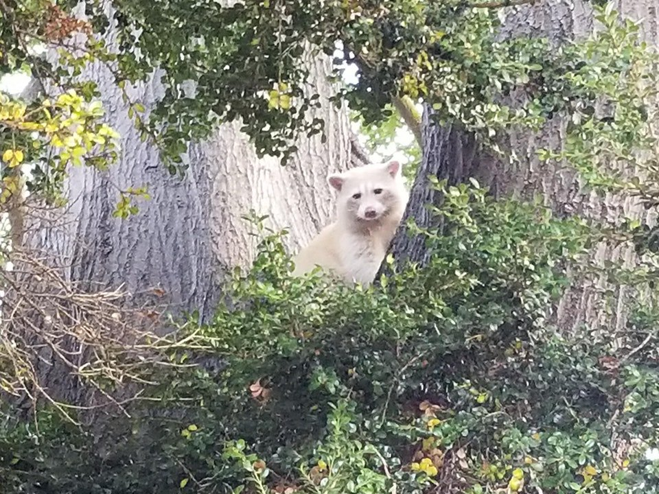 wow reddit user snaps photo of apparent white raccoon near