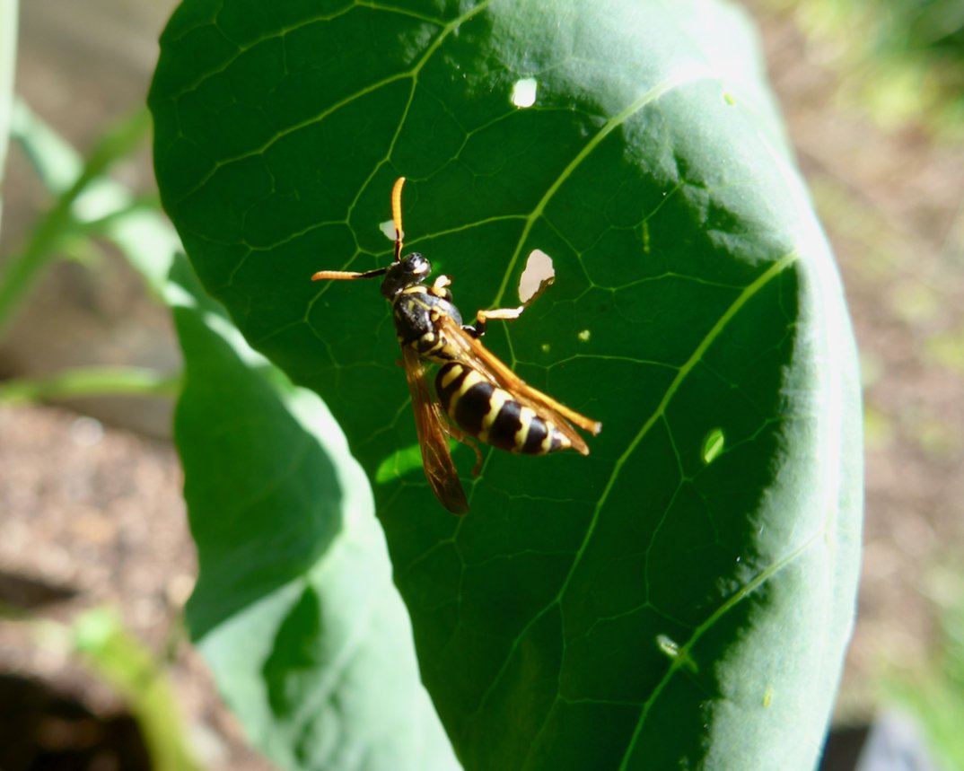 Wasps Aren T Particularly Aggressive About Stinging People Unlike Yellow Jackets Pic Twitter Jv5zgmnsdm