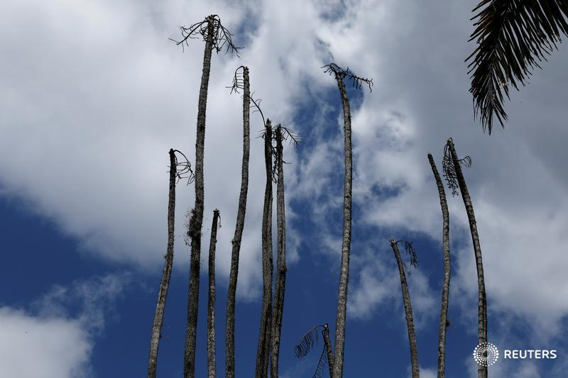 Dead palm trees are seen at the botanical garden in Caracas, Venezuela