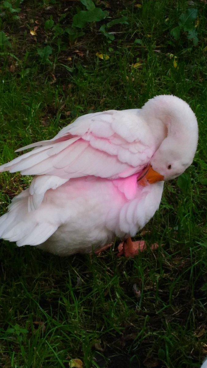 Картинки розовых гусей