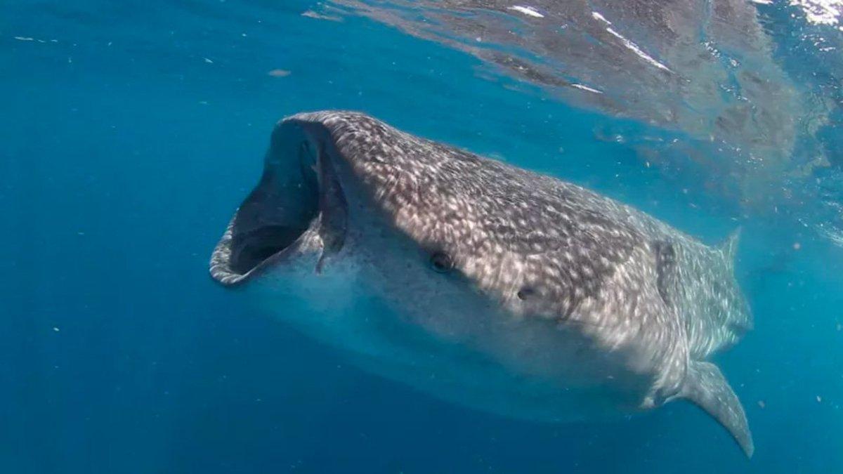 ジンベイザメの寿命は...なんと130歳。新研究で判明 #大学研究 #動物 https://t.co/PPZUOYQ3nq
