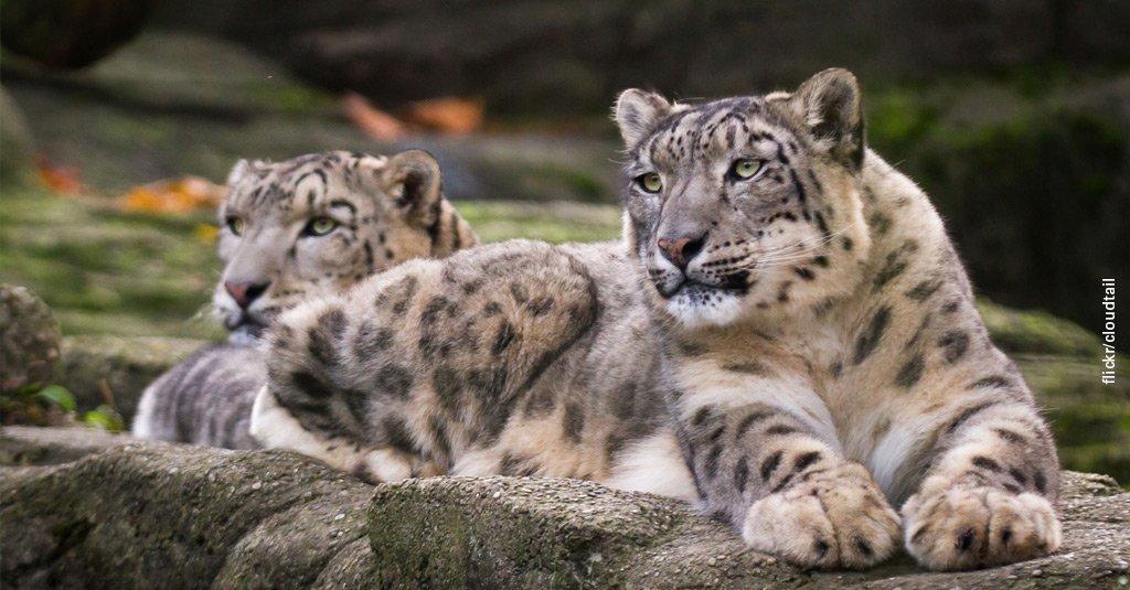 тигры львы рысь картинки анталье