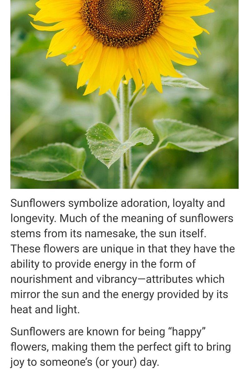 Hoericane On Twitter Sunflower Is The Symbol Of
