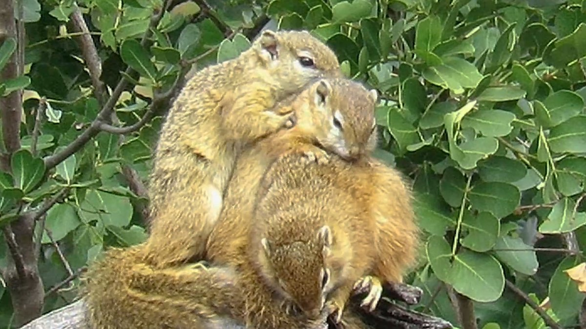 Happy #SquirrelAppreciationDay! These social animals like to use their snuggle time for warmth and mutual grooming