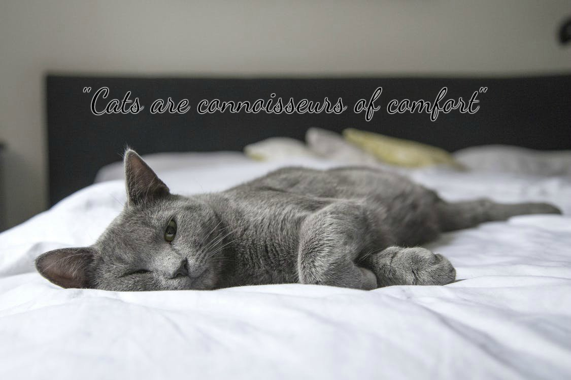 'Cats are a connoisseurs of comfort' 🐾💙 #catsoftwitter #quotes #caturday #catlovers #quote #adoptdontshop