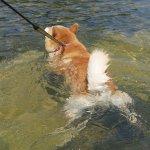 犬も今日は暑そうねw水に入って楽しむ犬が可愛すぎる!
