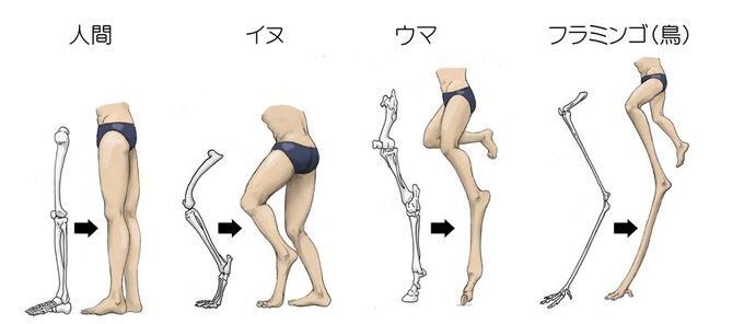 動物の足で足首を膝と誤解することがよくある為人間の足を他の動物の足