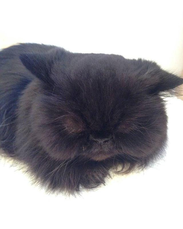 The tribble in repose #blackcatsofinstagram #blackcat...