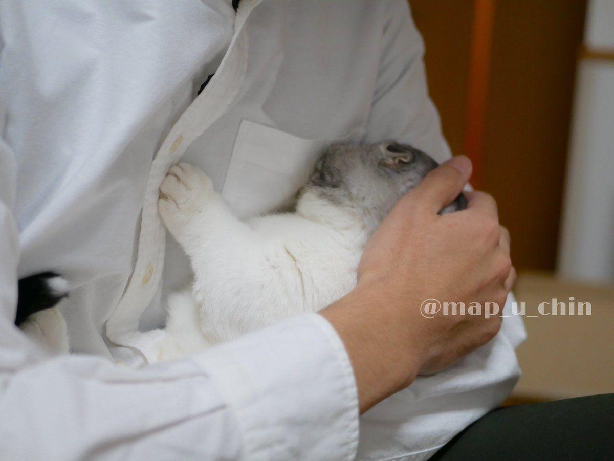 【今日のにゃんこ】  夫に抱っこされるとき、脇の下に顔を突っ込むのが好きなまっぷーちん。  @map_u_chin