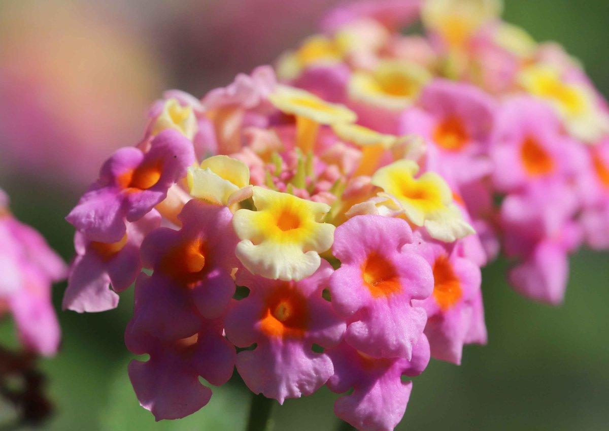 可愛らしい花を咲かせた、教会の庭のランタナ。花の色が少しずつ変わってゆくことから、「七変化」の別名を持っています(^O^)