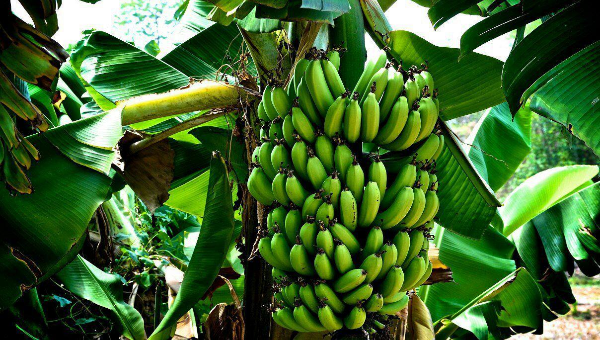 доказывает, фрукты бананы деревья фото химках карте