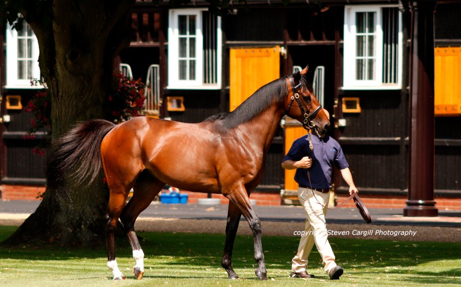 The 5yo RIBCHESTER @DarleyStallions in Newmarket on Friday. The durable and consistent 4-time G1 winning son of Iffraaj stood his first season at Kildangan Stud this year.