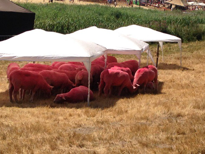 At @LatitudeFest to discuss safeguarding planet. Am alarmed by the pink sheep...#cheerfullive