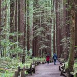Image for the Tweet beginning: Venture through @insidesonoma's Armstrong Redwoods