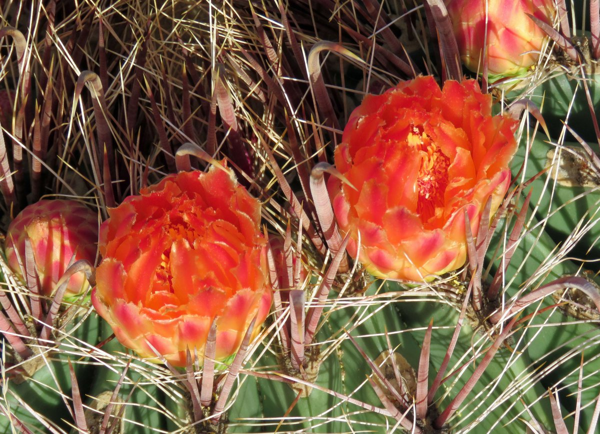 Blossoming Barrel Cacti. #OrganMountainsDesertPeaks National Monument. #NewMexico<br>http://pic.twitter.com/cKcn8TBhlJ