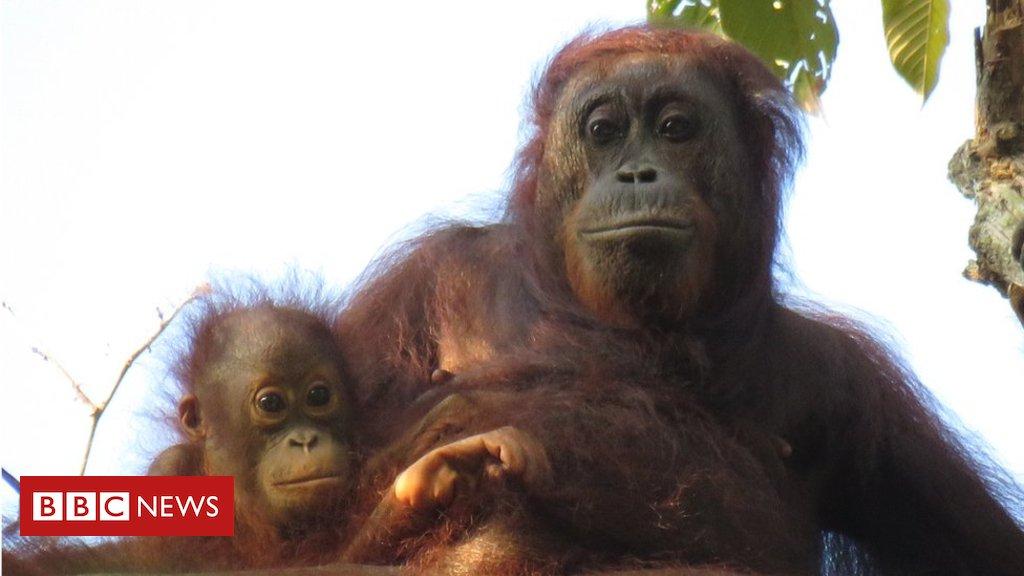 Como demanda por óleo de dendê ameaça orangotangos https://t.co/9Yt97vvbz6