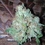 #HappyMondayCreWw 🌧🌩 hoy con esta 🍯 #SweetAfganiDeliciousCBD 🇨🇭 de @sweetseeds_es a la que ya le llega su hora ⌛😍 os deseamos una feliz semana #StonerFam always #GoodVibesOnly 4 #CannabisCommunity #CannabisMedicinal #CBD  #SweetSeedsOfficial #AdrycManellsonTesterTeam ⛵🌧