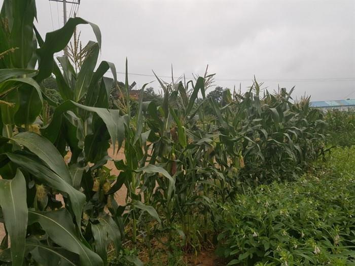 [moi #여름] 옥수수의 계절, 여름!  우리 밭 옥수수 수염을 보니 거둘 때가 아직 멀었다. 미리 먹어보게끔 보내 준 옥수수가 귀하다.  ☞ 더 보기 https://t.co/bEPsCK00iY  #갓찐옥수수 #옥수수 #고소함이일품 #모이  😀moi는 일상의 이야기를 누구나 쉽게 나눌 수 있는 공간입니다