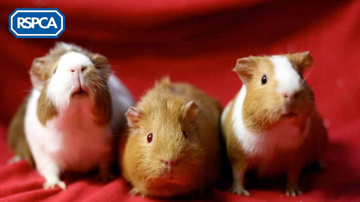 So far this year, we've received reports of 250 abandoned #guineapigs. This #GuineaPigAppreciationDay, we're raising awareness that they're one of the most misunderstood pets, with many being kept in small hutches, and with other animals such as rabbits:  http:// bit.ly/2zPo7wm    <br>http://pic.twitter.com/NydUcJkXOk
