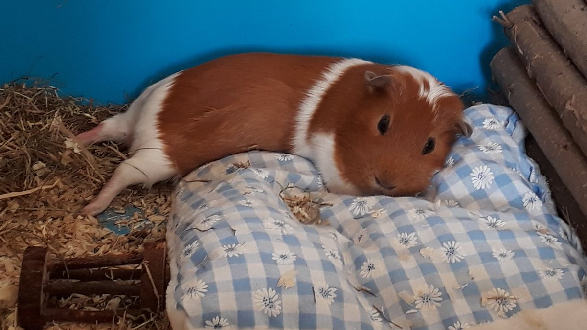 Norman loves chilling on his comfy cushion and showing off his pantaloons. #GuineaPigAppreciationDay <br>http://pic.twitter.com/hA80MwPOg0