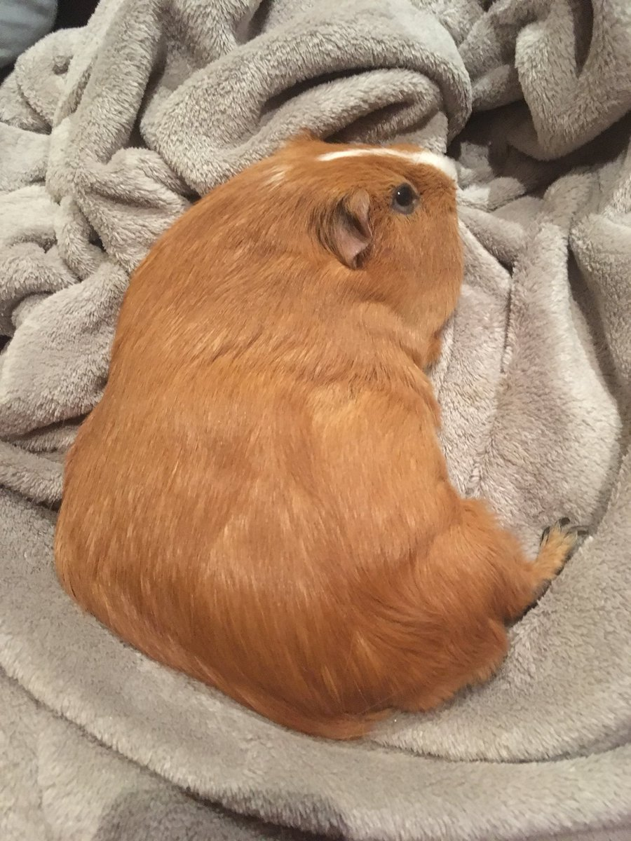 CURRENT AESTHETIC  IM SPENDING MY HOLIDAY KIDNEY-BEANED IN A PILE OF HAY  FLEECE OR HAY, I LOVE A SNOOZE WITH A CASUAL  #GingerPantaloon #GuineaPigAppreciationDay <br>http://pic.twitter.com/VZZrkW9r9g