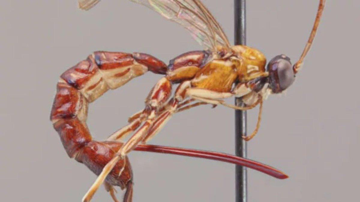 なんですかその針は……。南米でクモに卵を産み付ける新種のスズメバチが見つかる #サイエンス #大学研究 https://t.co/OlY5AG3rnI