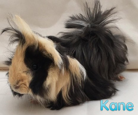 Happy #GuineaPigAppreciationDay everyone! We have some very special piggies searching for new homes today, including trio Southgate, Kane and Pickford, who we named in celebration of the England squad's success at the World Cup! Can you give them a home?   https://www. bluecross.org.uk/pet/southgate- 5105879?type=adopt  … <br>http://pic.twitter.com/xhexpSznZX