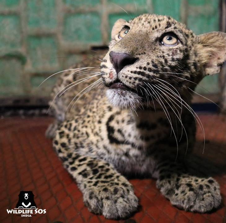 Watch: 10-month-old leopard cub rescued from a 40-feet deep well; reunited with its mother https://t.co/pnYxDHezaz writes @singhvirat246