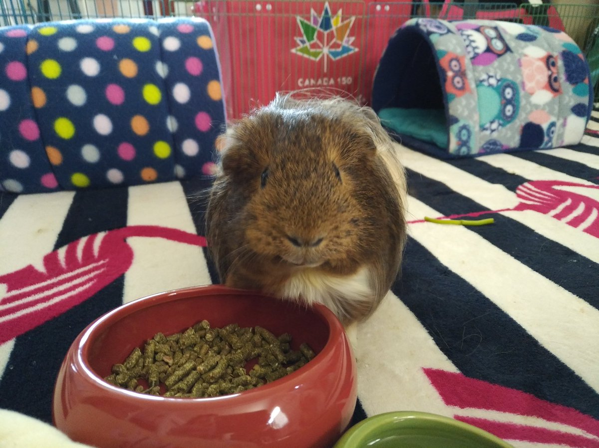 Can you appreciate me later? I'm busy right now but come back soon w  to really appreciate me please #guineapig #GuineaPigAppreciationDay <br>http://pic.twitter.com/BujB4bQWCe