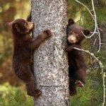 Image for the Tweet beginning: Double trouble.🐻🐻  Photo by: simoneheinrichphotography on