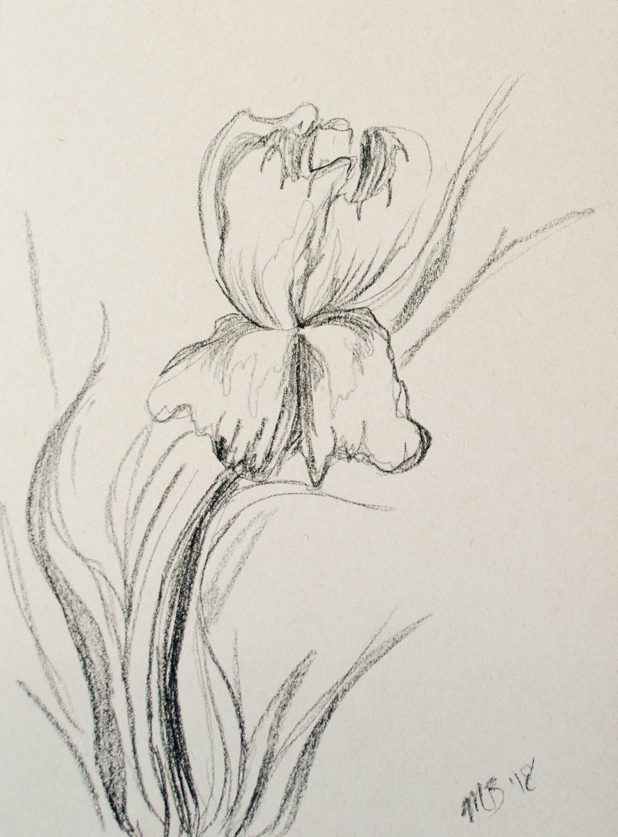 Melissa Willett On Twitter Iris Flower Sketch In Charcoal On Toned Paper A Soft Simple Drawing With Beautiful Curved Lines Iris Flower Sketch Charcoal Art Originalart Https T Co 8vkkncvdg8