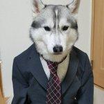 なんで違和感ないの?wシベリアンハスキーがスーツを着たら似合いすぎたw