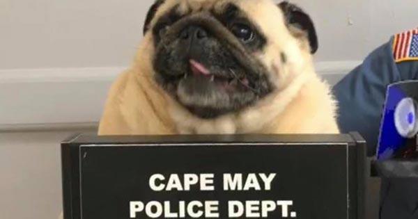 Cão pug é 'fichado' pela polícia nos EUA https://t.co/3lliotXzD8 #PlanetaBizarro #G1