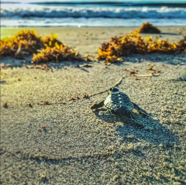 &quot;Go, little turtle! You&#39;re almost there!&quot;  Did you know #SpaceCoast turtles are already hatching??? Thanks to resident Steve Falletti for making our day by sharing this awesome picture of a hatchling in #TheSpaceBetween Waves + Wonder.  #savetheturtles#TurtleTuesday<br>http://pic.twitter.com/RsRaDPR5Bg