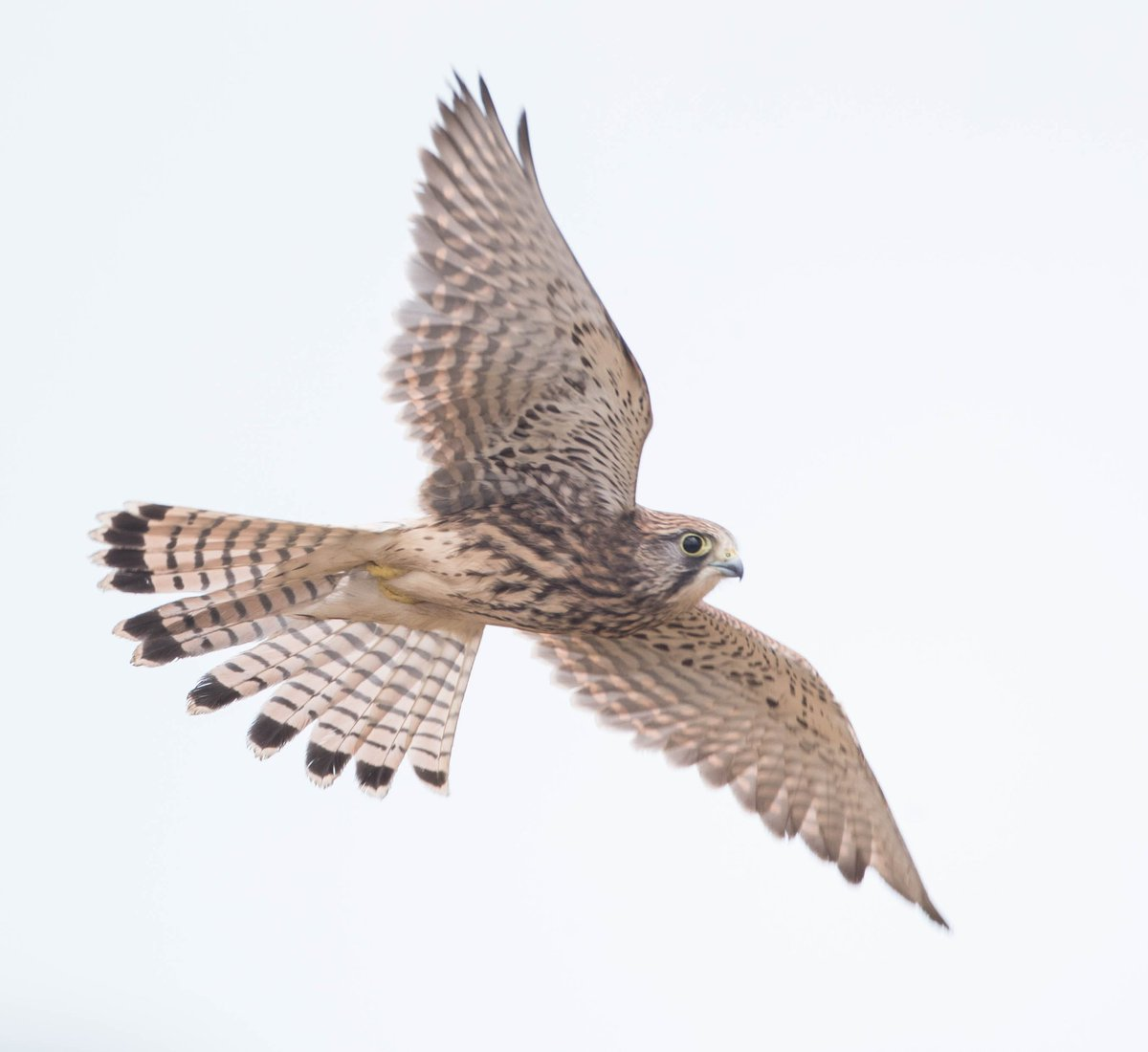 A juvenile kestrel doing the rounds at Gunners Park in Essex, UK #EarthCapture by @drumon25 https://t.co/LO5d9IAfUg
