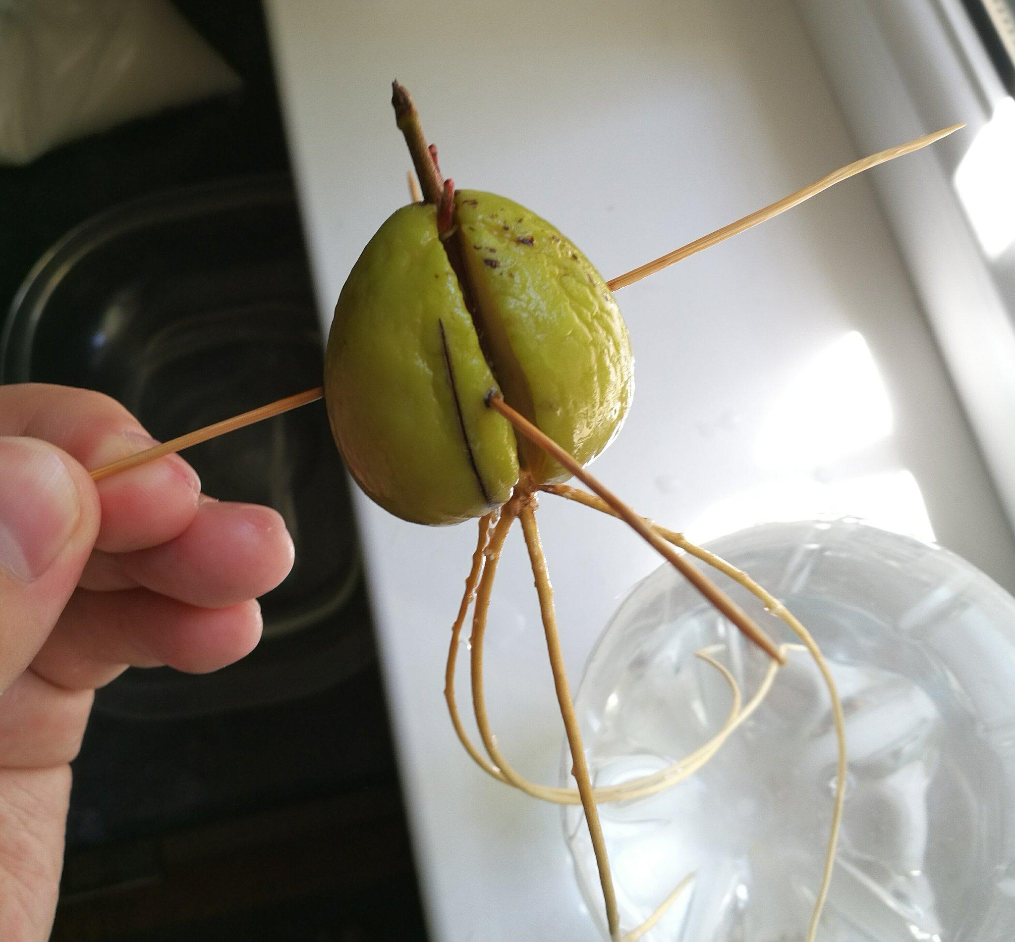 добрым авокадо из косточки в картинках такие дни хочется