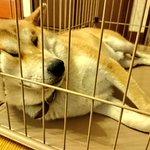父が頭痛がするから仕事場から早退し帰宅。父は休まず犬用のケージを組み立てエアコンの効いた家に置き柴犬を入れる『いやー仕事場のPCで「犬・熱中症」で調べたら犬は22度以上から熱中症になるって書いてあって、こりゃいけね!と思って、頭痛いって言って帰ってきたんだ』  犬の為に仮病早退する父