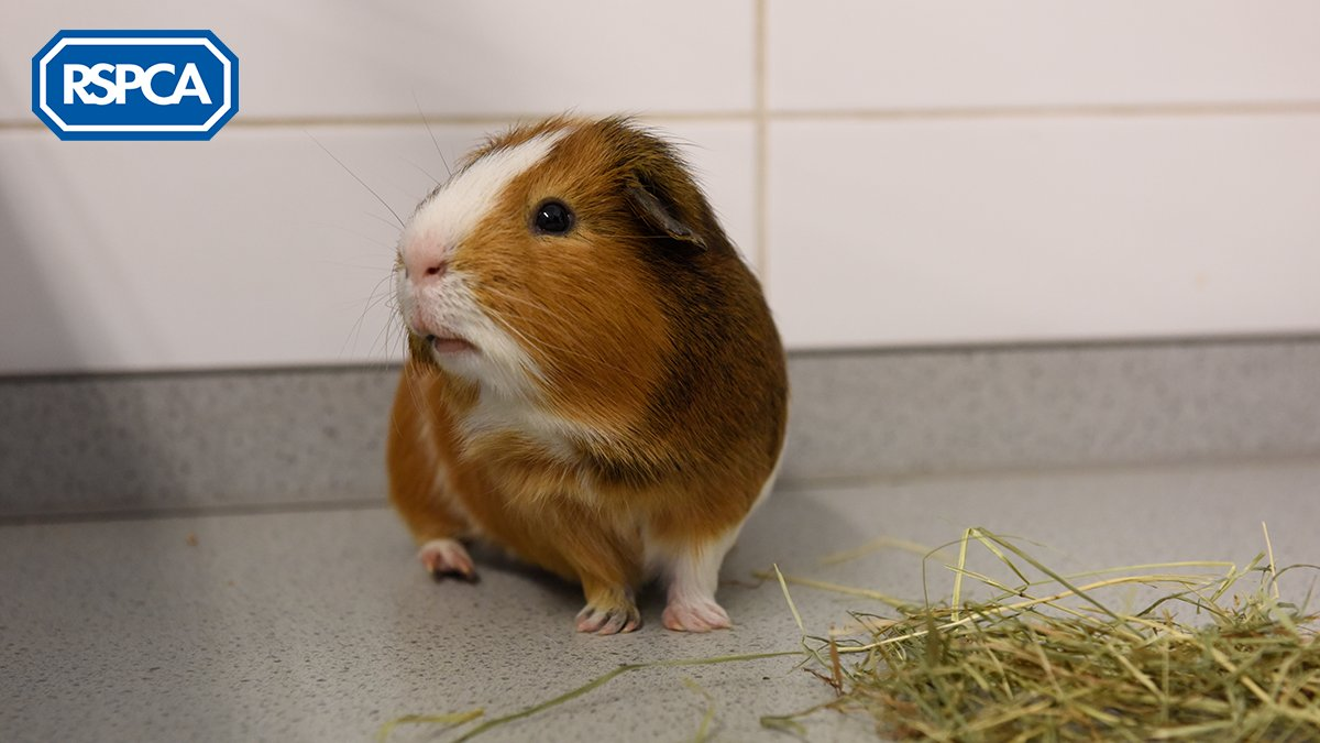 With #GuineaPigAppreciationDay just behind us, we were delighted to see so many gorgeous guinea pigs! We have a wealth of information on our website with our top tips for the best environment, diet and company for cute cavies:  http:// bit.ly/2zOAQjc     #WednesdayWisdom<br>http://pic.twitter.com/tZyfNSnqRe