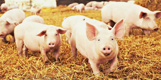 While rare, #flu can spread from pigs to people and from people to pigs. Protect yourself at agricultural fairs this summer: • Don't take food or drink into pig areas • Wash hands often, before & after contact with pigs  More tips: https://t.co/cFoNTHqN3u
