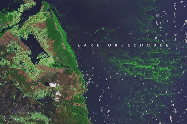 Summer phytoplankton blooms are here. Check out these #Landsat images of cyanobacteria blooming in Florida's Lake Okeechobee and offshore the Michigan coast in Lake Erie. https://t.co/FY9cZPkpdE