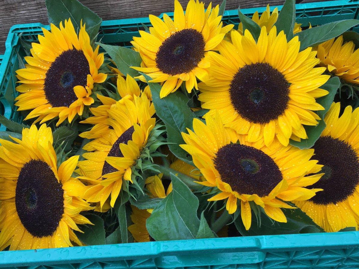 Marianne Schumacher On Twitter Sonnenblumen Lassen Grüssen