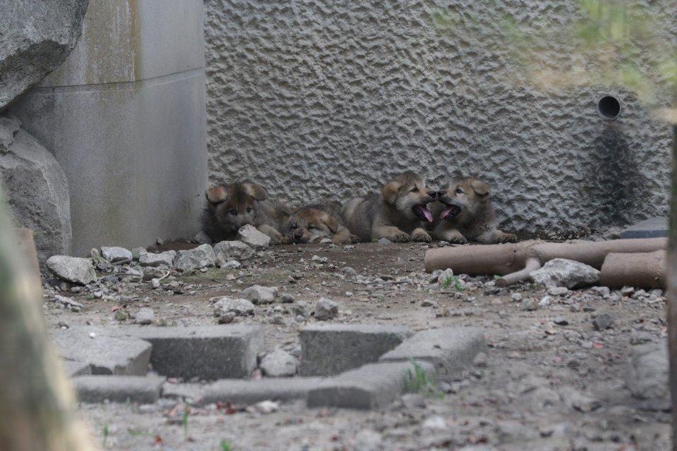 ちびっこオオカミ #オオカミ  #平川動物公園
