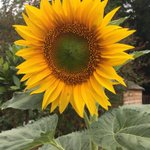 Gorgeous sunflower in the children's herb garden. #LongacreLife