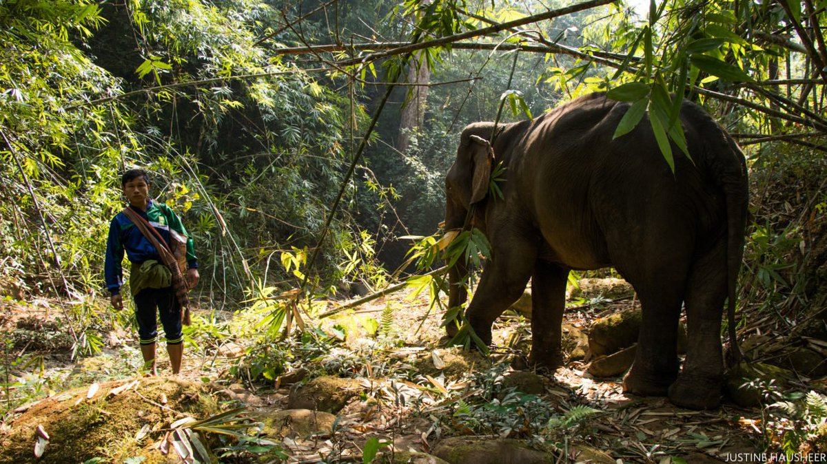 How Myanmar's timber elephants are able to keep forest loss from logging to a minimum: https://t.co/tld9Gwqee8