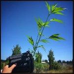 🎶 Don't stop, believing...🎶 ⠀⠀⠀⠀⠀⠀⠀⠀⠀⠀⠀⠀⠀⠀⠀⠀⠀ ⠀⠀⠀⠀⠀⠀⠀ ⠀⠀ #HiFiFarms #Cannabis #TurnItAround #THC #Vegetative #Photosynthesis #phytocannabinoids #OregonCannabis #ChemdogKush #FollowTheSun
