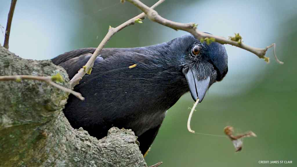 Researchers from @univofstandrews found that some New Caledonian crows seek out a specific shrub to create a hooked tool for extracting prey from hiding places. Learn more: bit.ly/2LBLo6D